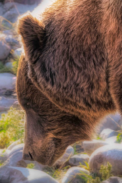 Grizzly profile