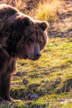 Oil painting effect of old Grizzly
