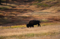 Lone Bison Yellowstone 2020