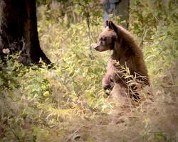 Cinnamon Black Bear Cub