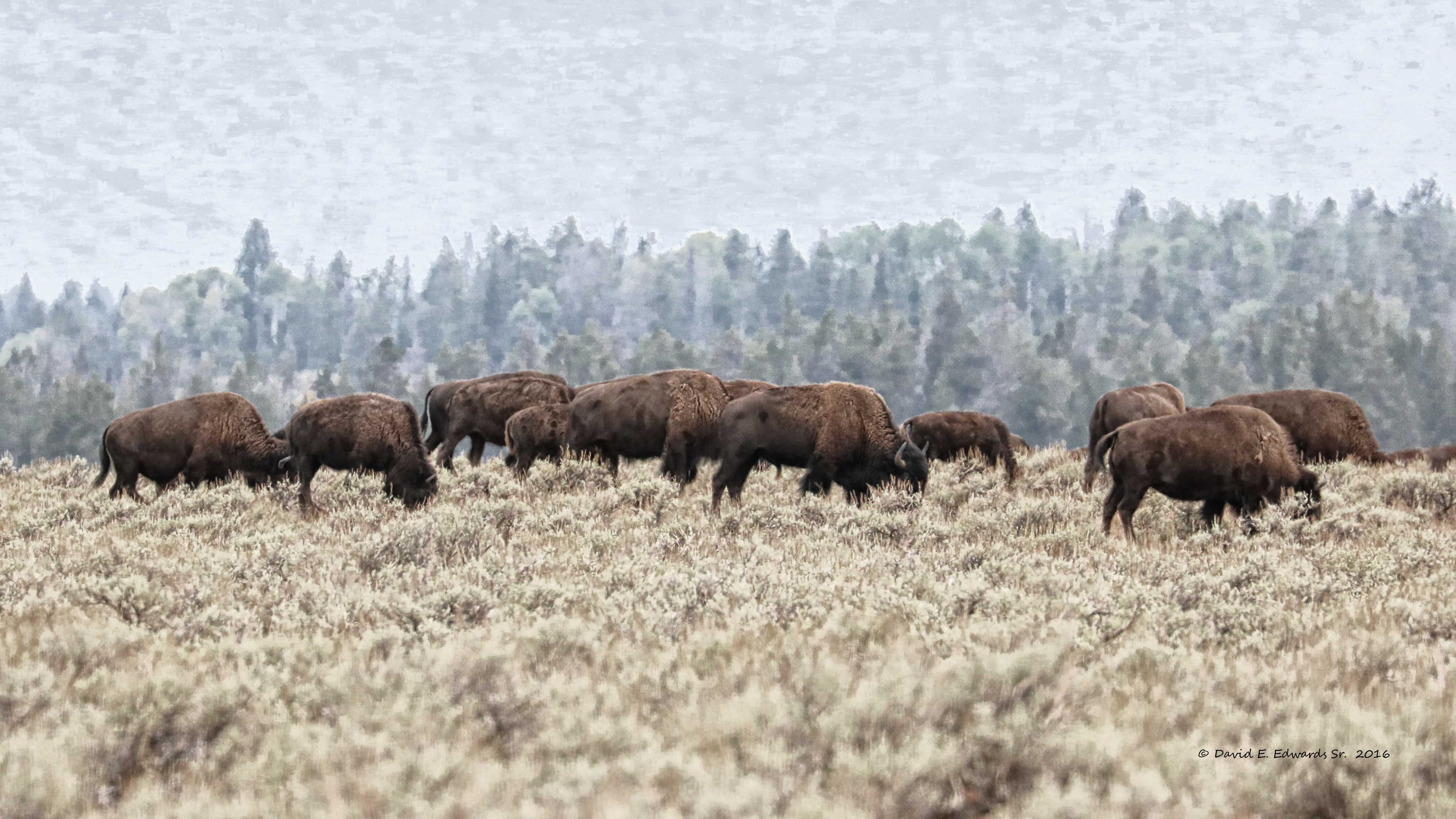 Bison by Snake River- Grand Teton NP