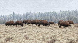 Bison by Snake River- Grand Teton NP