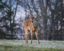 Deer at Cades Cove