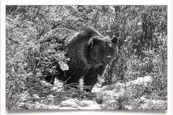 Grizzly near Teton National Park