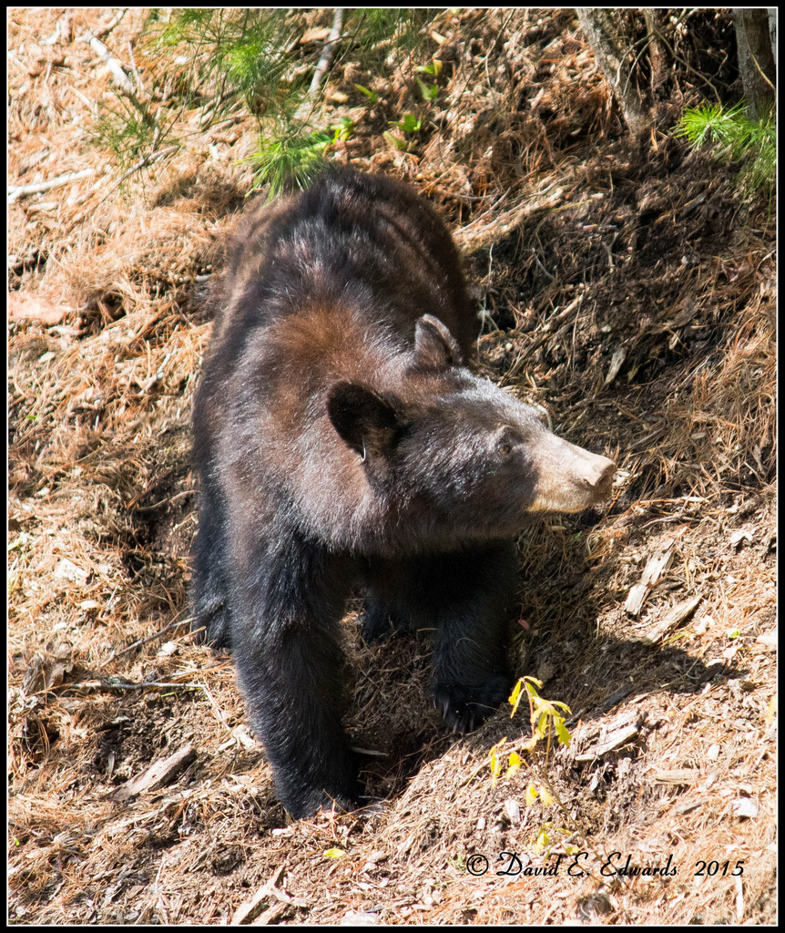 Bear in Cades Cove 1