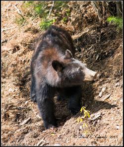 Bear in Cades Cove 1