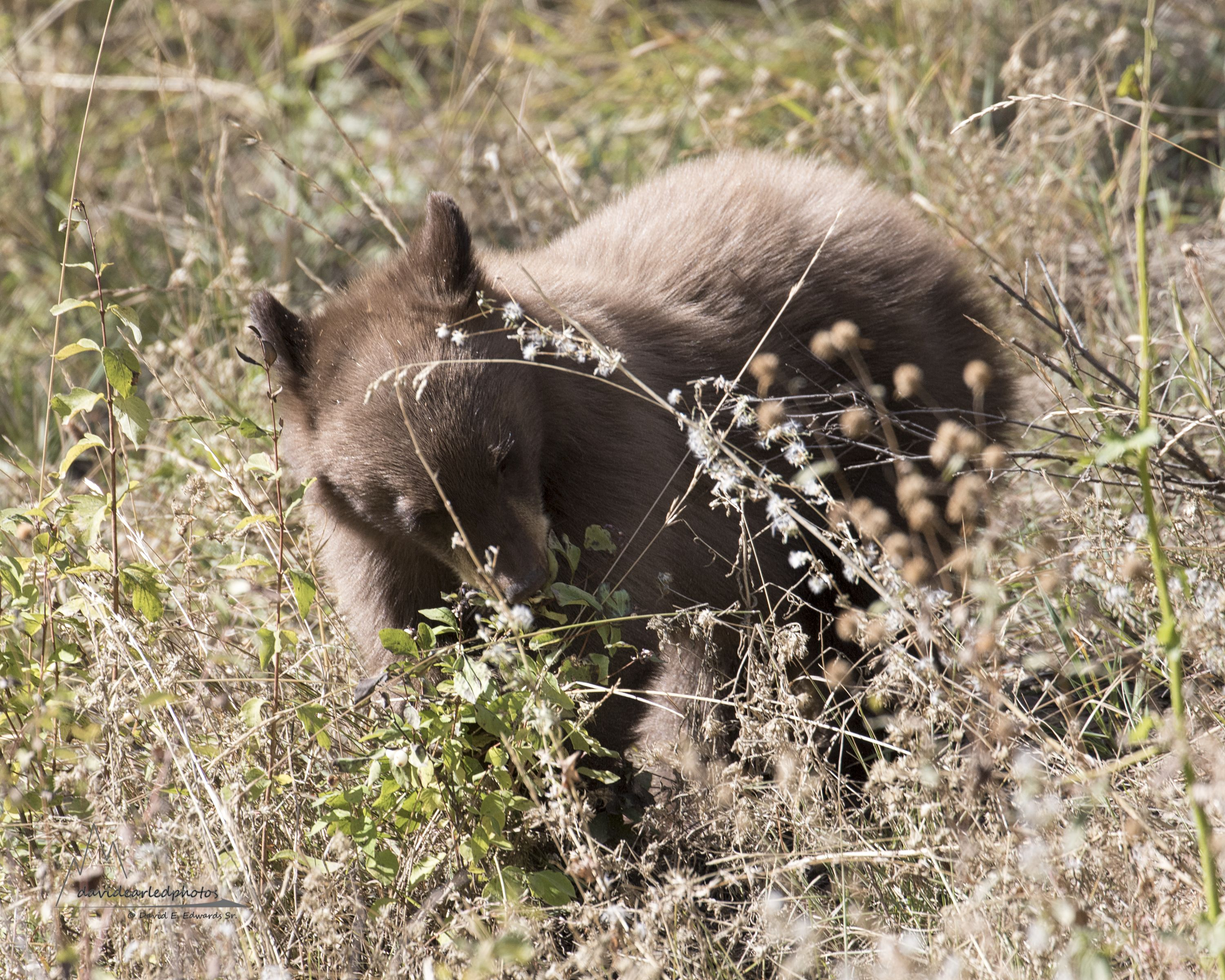 Cinnamon bear eating plant