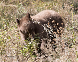 Cinnamon bear eating plant