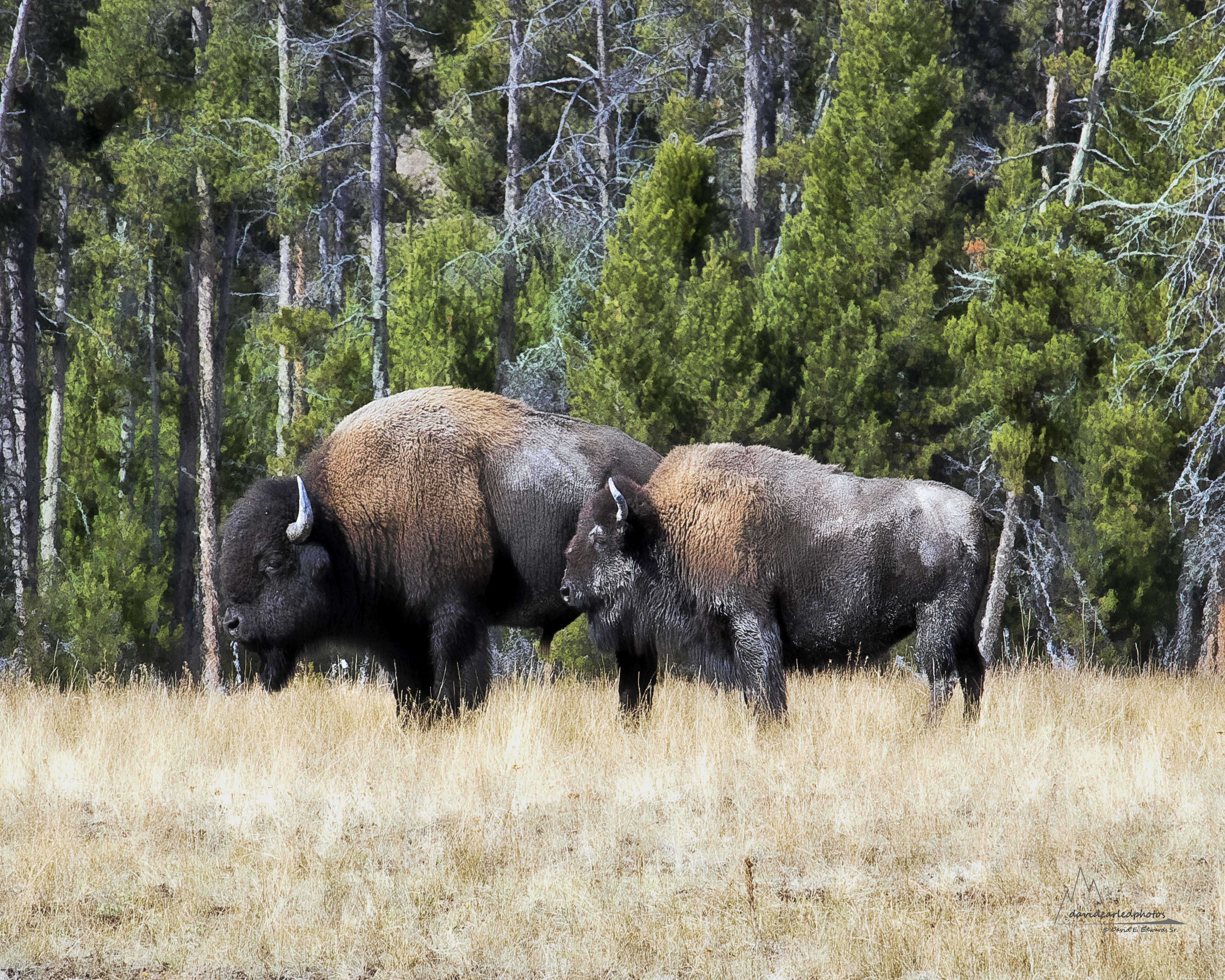 Bison couple in Yellowstone- 2017