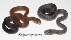 Axanthic Blacktail Cribos