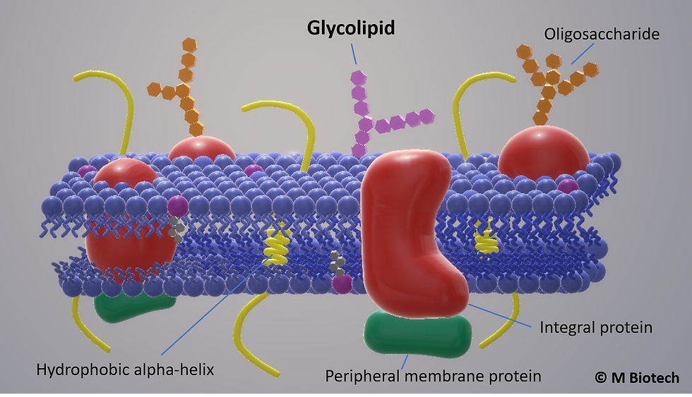 Oligolipid with cell membrane.png