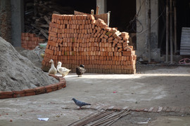 Ducks in Kathmandu