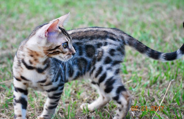 Bengal Kittens For Sale | Wallis | Bella Bengala Cattery