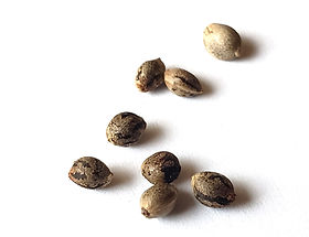 closeup-cannabis-seeds-white-background-