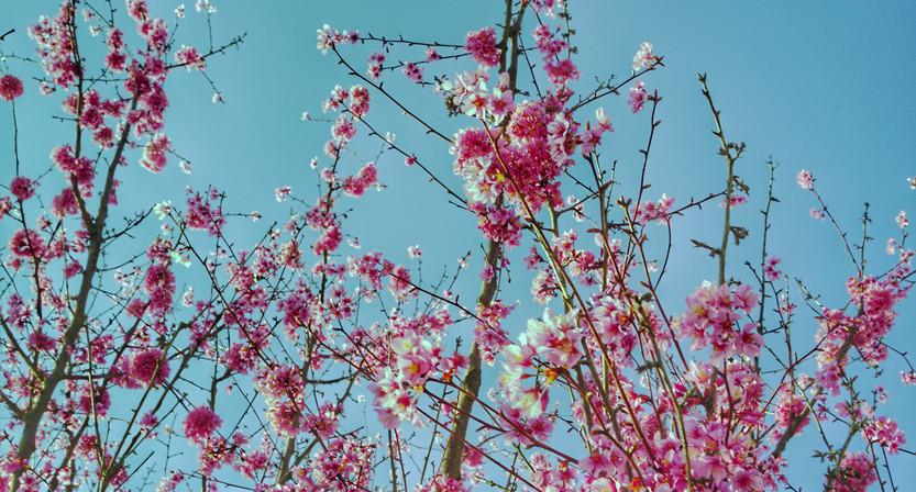"""""""DSC03227-02.jpeg"""" - Prunus déconfiné"""