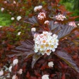 Physocarpus opulifolius 'Summer Wine', Summer Wine Ninebark (small plants)
