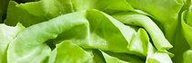 Lactua sativa, Lettuce butterhead.jpg