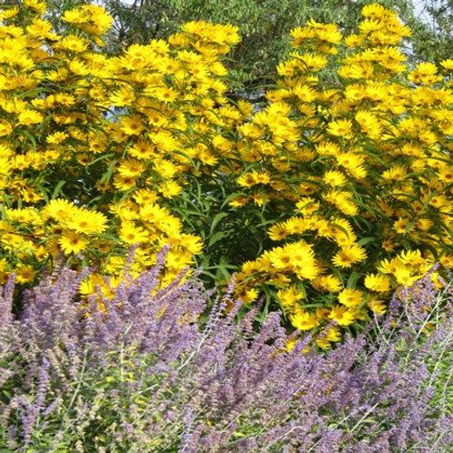 Helianthus maximiliana 'Santa Fe', Santa Fe Maximilian Sunflower