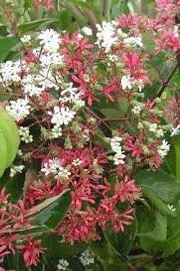 Heptacodium miconioides, Seven-Son Flower Tree (1-gallon pots)