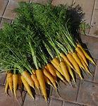 Daucus carota, Carrot Amarillo.jpg