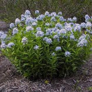 Amsonia tabernaemontana, Blue Star