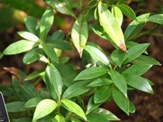 Sarcococca hookeriana humilis, Himalayan Sweet Box
