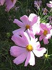Cosmos bipinnatus, Cosmos sonata pink.jp