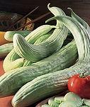 Cucunis sativas, Cucumber Armenian.jpg