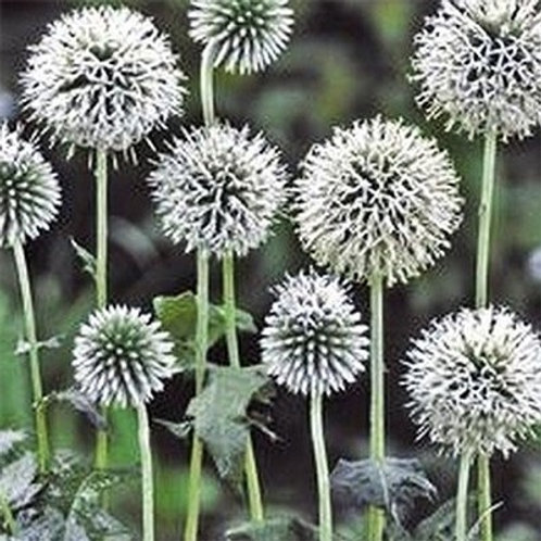 Echinops bannaticus 'Star Frost', Star Frost Globe Thistle