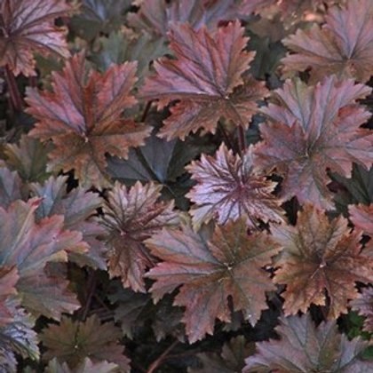 Heuchera villosa f. purpurea 'Bronze Wave', Bronze Wave Alumroot