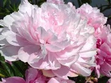 Paeonia, Peony lactiflora (Double Pink)
