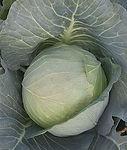 Brassica oleracea, Cabbage Brunswick.jpg