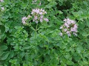 Origanum vulgare hirtum, Greek Oregano