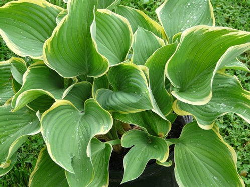 Hosta, Hosta - Large Leaves with Yellow Edges