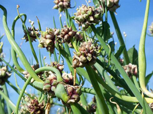 Allium x proliferum, Egyptian Walking Onion (2 per pot)