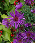 Aster novae-angliae 'Purple Dome'.jpg