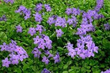 Phlox stolonifera 'Sherwood Purple', Sherwood Purple Woodland Phlox