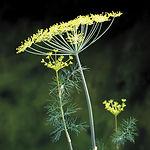 Anethum graveolens, Dill fernleaf.jpg