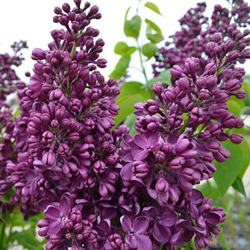 Syringa vulgaris 'Yankee Doodle', Yankee Doodle Lilac (smaller plant)
