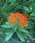 Asclepias tuberosa, Butterfly weed.jpg