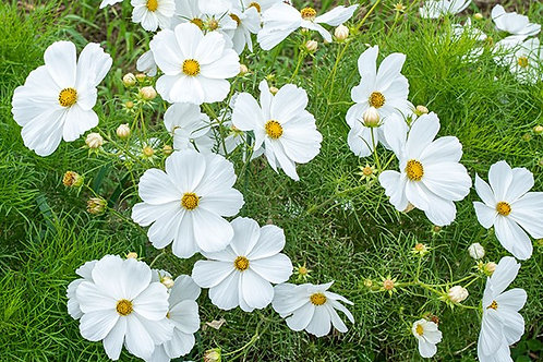 "Cosmos bipinnatus 'Sonata', Sonata White Cosmos  (4"" sq pot)"