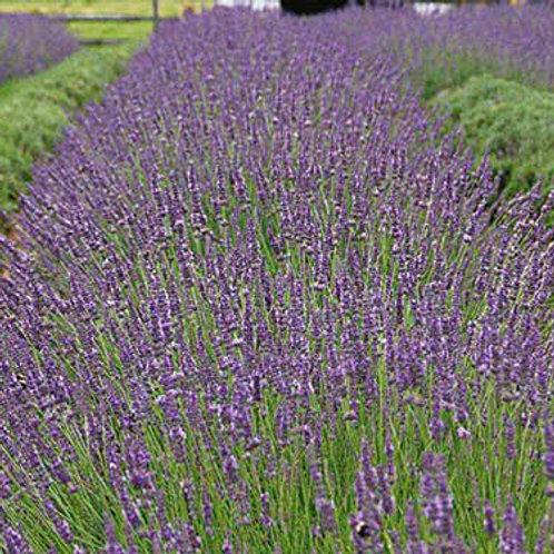 Lavandula x intermedia 'Phenomenal', Phenomenal Lavender (hardy)