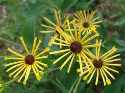 Rudbeckia subtomentosa 'Henry Eilers', Sweet Coneflower
