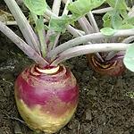 Brassica napobrassica, rutabaga.webp