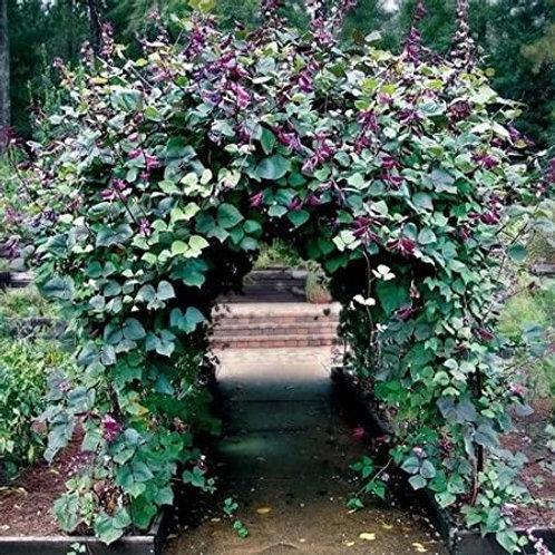Dolichos lablab, Hyacinth Bean