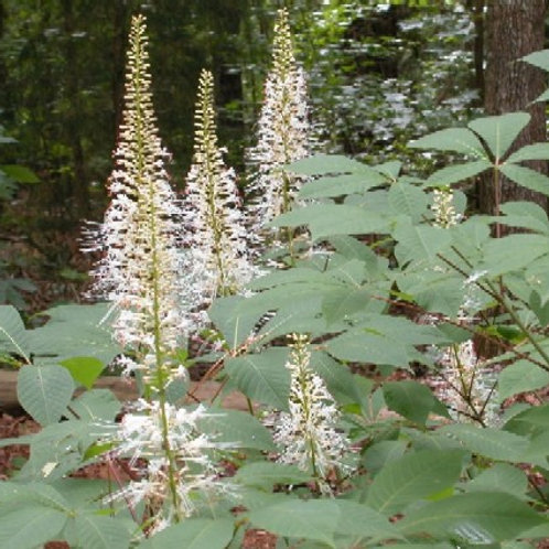Aesculus parviflora, Bottlebrush Buckeye