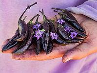 Capsicum annuum, Pepper murasaki.jpg