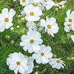 Cosmos bipinnatus, Cosmos sonata white.j