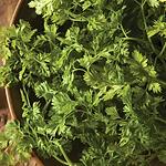 Anthricus cerefolium, Chervil.webp