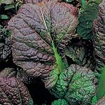 Brassica juncea, Mustard osaka purple.pn